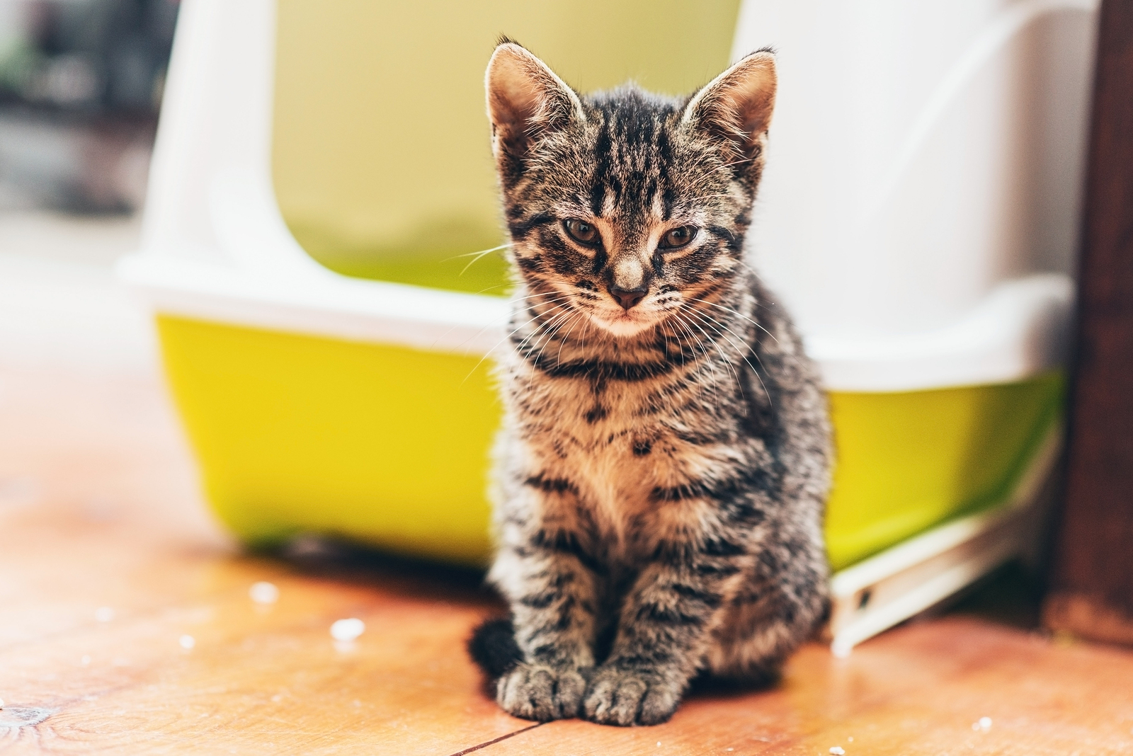 can cats spread urinary tract infections