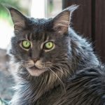 Rocky the maine coon