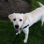 Finn the labrador
